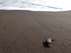 Gap Year Programs - Sea Turtle Conservancy in Torugero, Costa Rico